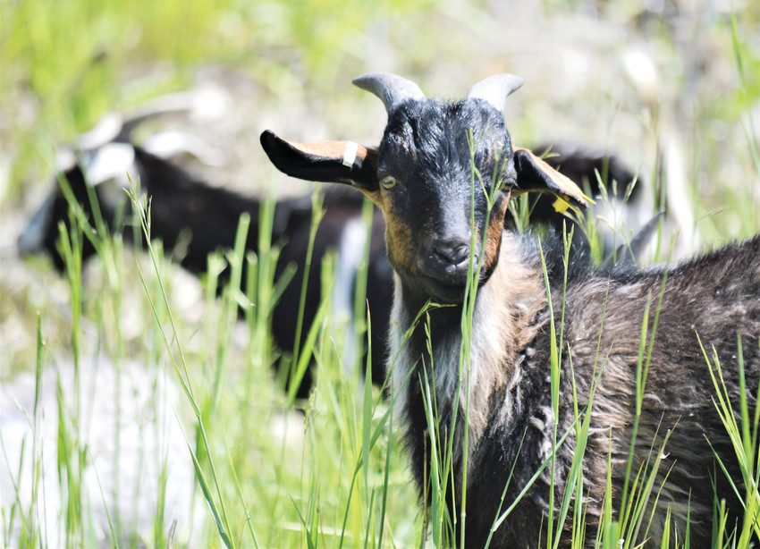 A weed-clearing goat, part of the herd currently living on the land around Standley Lake, pauses from browsing June 6. Since herbicides and weed killers can't be used around Standley Lake, city officials rely on annual visits from the goat herd to cut back on invasive plants and weeds.