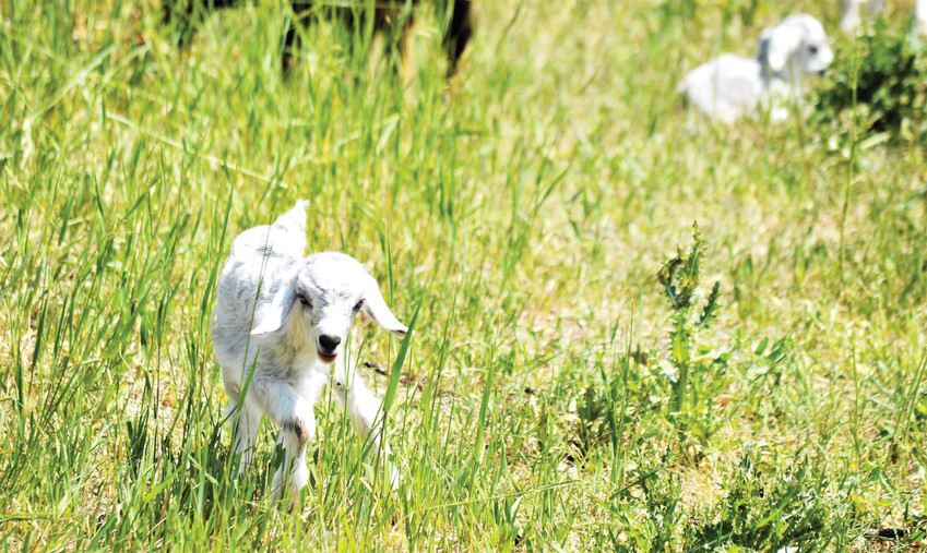 A kid, part of the goat herd from Fort Collins-based Goat Green that is currently clearing weeds at Standley Lake, makes her way to the bottle June 6.