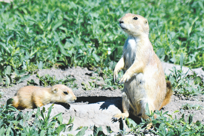 A parent groundhog warns the others around while a baby watches outside Standley Lake. One of the classes rangers at Standley Lake Regional Park taught in May talked about life in a prairie dog town, including tunnels and their warnings they give to each other.