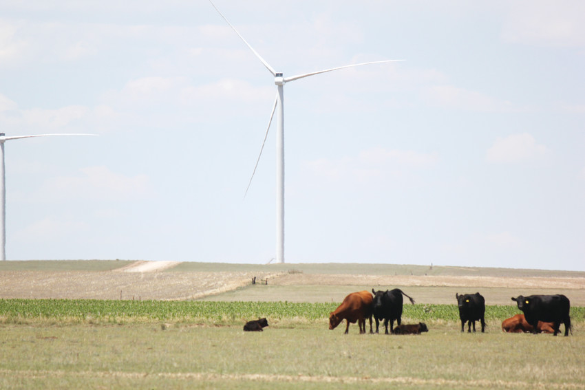 Cattle graze and wander the fields beneath wind turbines on the Kochis farm in Matheson.