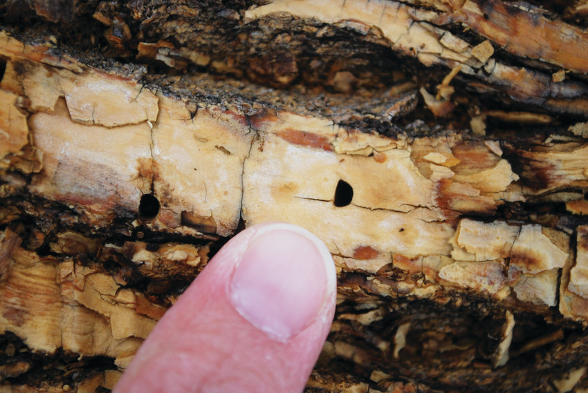 Emerald Ash Borers are deadly to Ash trees, killing them by boring in and eating the wood. They've been found in Boulder and Weld counties for five years and have continued to spread south.