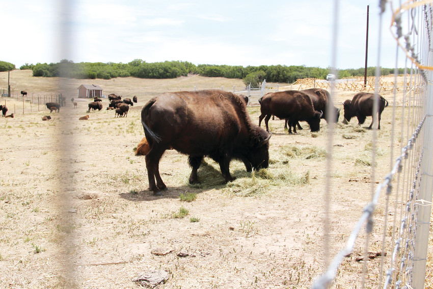 Roaming throughout Daniels Park is a bison herd, which visitors often stop to photograph.
