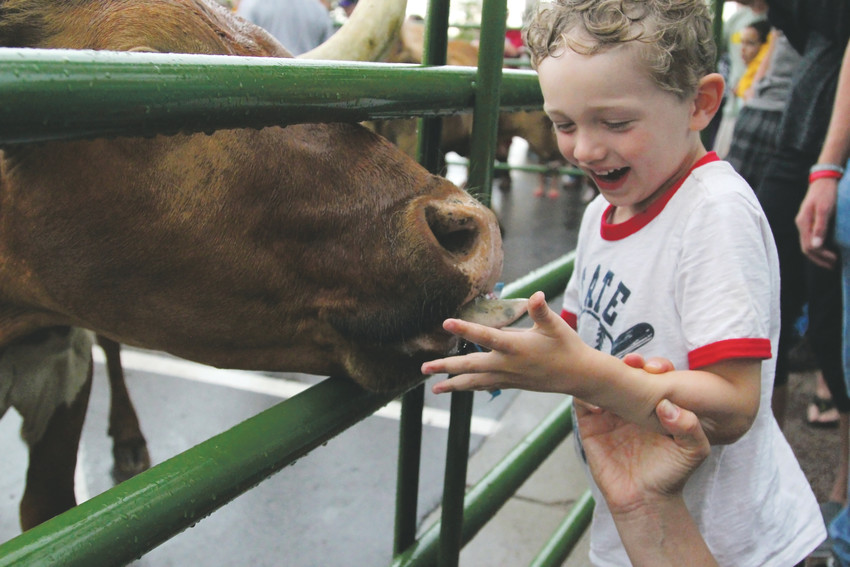 Robert Bialkowski, 4, laughs and squirms as he feeds a treat to steers at the 2018 steer drive in Castle Rock.