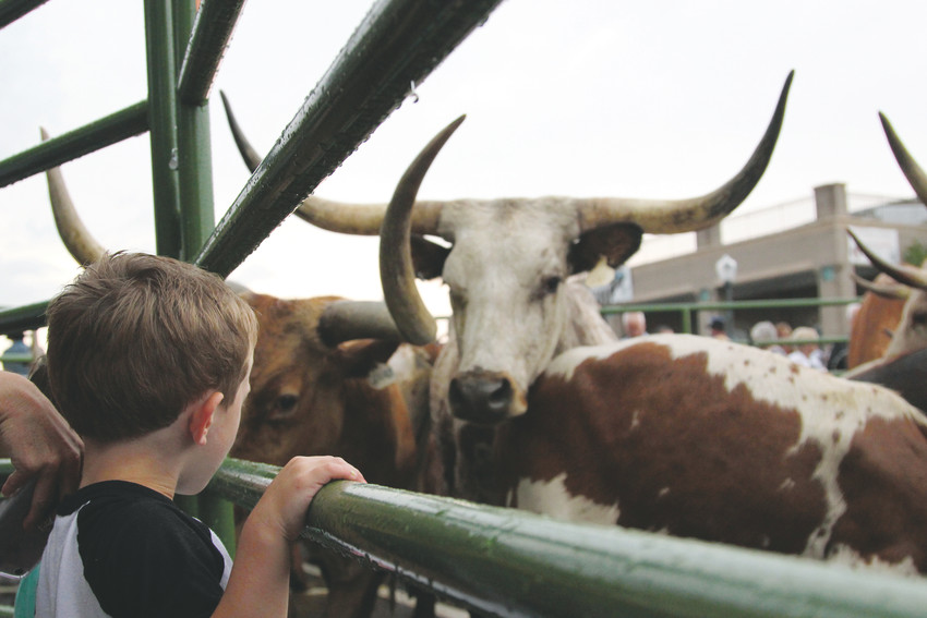 Children and their parents peered through fencing to get a closer look at corralled cattle during the 2018 Western Heritage Welcome in Castle Rock.