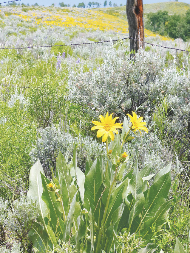 Wildflower season in Colorado means widespread blooms through different landscapes in the state. They are a staple at the Denver Botanic Gardens.