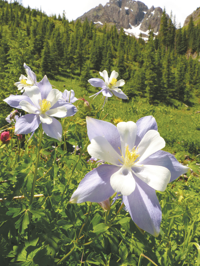 The Rocky Mountain Columbine is the state flower of Colorado. It was originally discovered in the mountains and typically blooms from April to July.