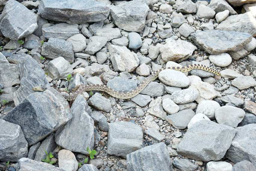 Bull snakes are common at the Arvada Reservoir.