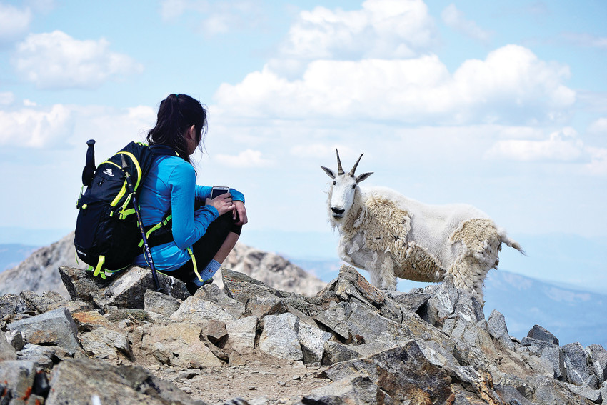 Norma Davenport, of Arvada, stares down a mountain goat on her approach to the peak of Mount Massive. Goats are common wildlife encountered on fourteener hikes. This one surprised Davenport as she came over the ridge.