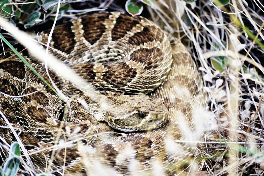 A prairie rattlesnake hides in grass on South Table Mountain. It is one of 17 being tracked by Jeffco Open Space and Adaptation Environmental Services for research of habits.