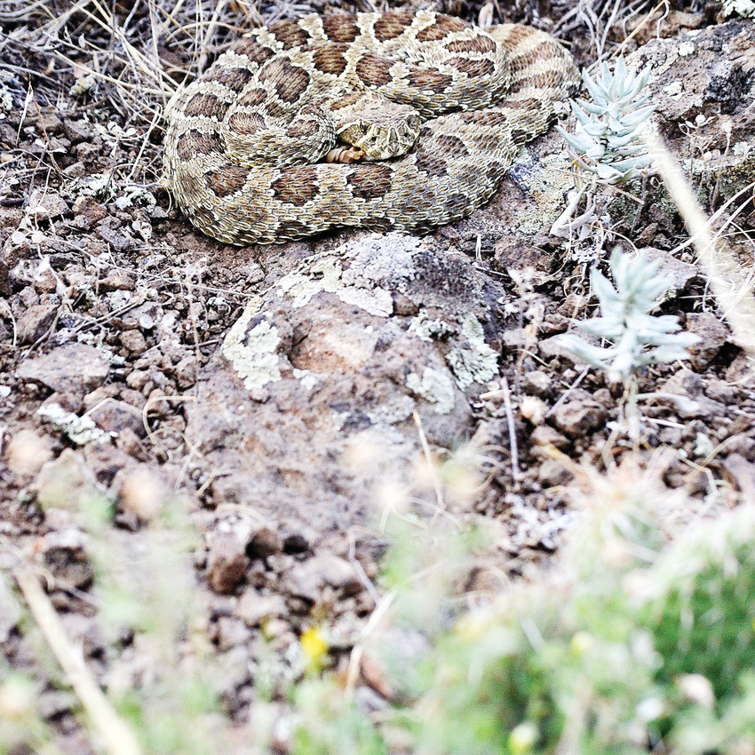 A prairie rattlesnake lays in an ambush coil waiting for prey on South Table Mountain on Thursday, Aug. 16. This is one of 17 rattlesnakes on the mesa in Golden that have a radio transmitter implanted for Jeffco Open Space and Adaptation Environmental Services to track travel habits and den spaces. Jeffco is considering building a parking lot and restrooms along with formalizing some of the trails to make South Table more accessible and user friendly.