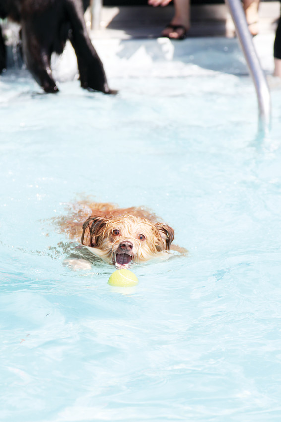 The Pooch Plunge is presented annually by the Town of Castle Rock's Parks and Recreation Department.