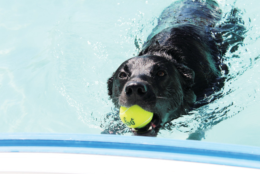 A good boy fetches a tennis ball back to shore during the Wag N' Romp dogs-only swim at the Cook Creek Pool Sept. 8.