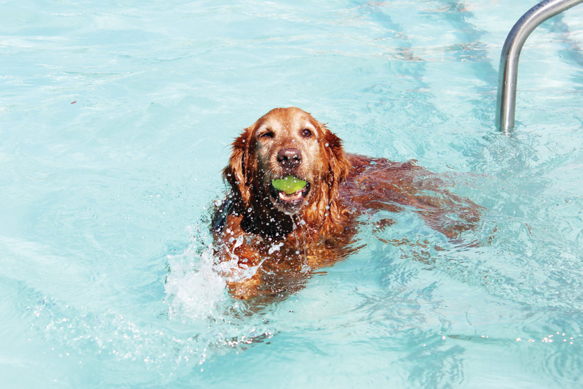 For one day, the Cook Creek Pool was open to dogs only before the pool was drained for the year. Dozens of dogs ran about and splashed around in the water Sept. 8.