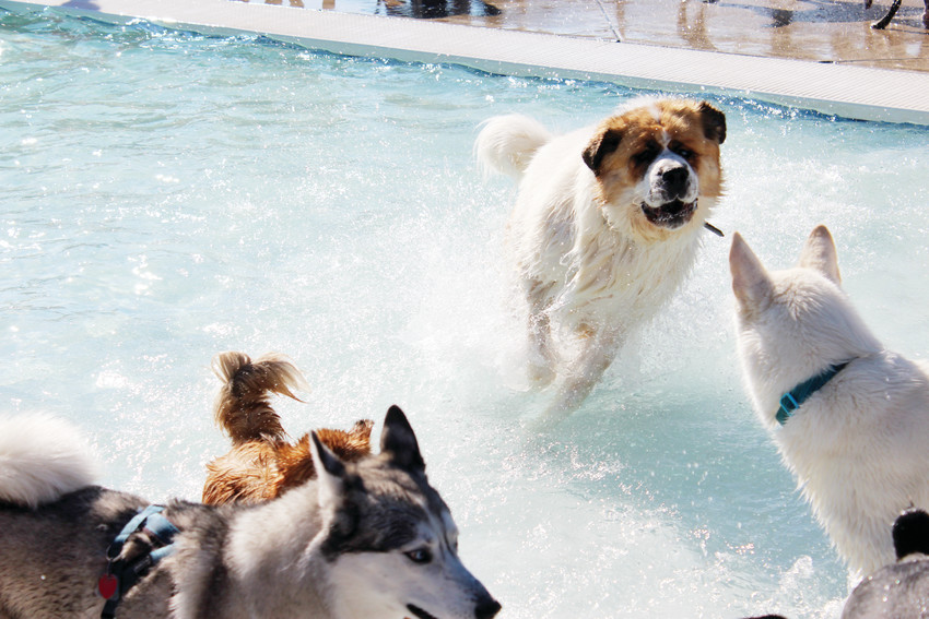 Dexter, the St. Bernard, splashes across the shallow end of the pool at the H2O'Brien pool Sept. 8 at the 2018 Barker Days.