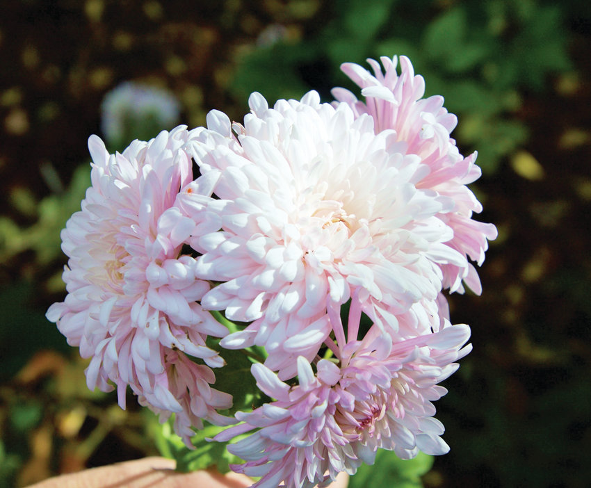 Chrysanthemums can be propagated by cuttings. Cut a few inches from the tip and then put in soil. Keep the soil moist until roots are established.