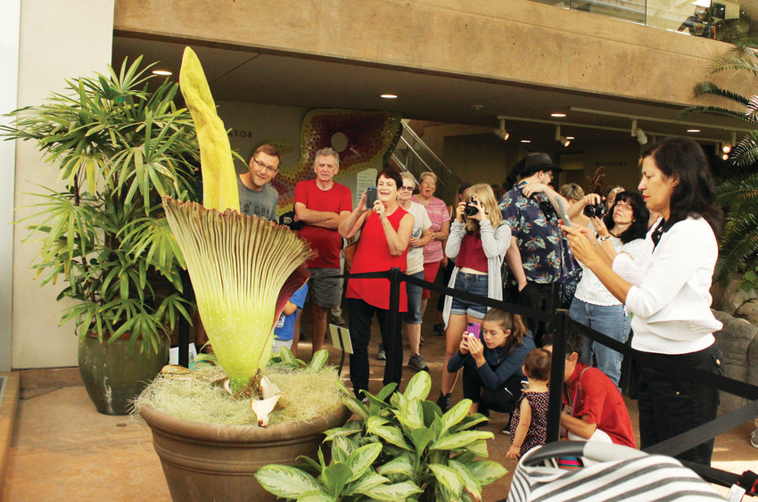 Staff at the Denver Botanic Gardens estimate that the corpse flower is around 20 years old. The flower bloomed for the first time in 2015.