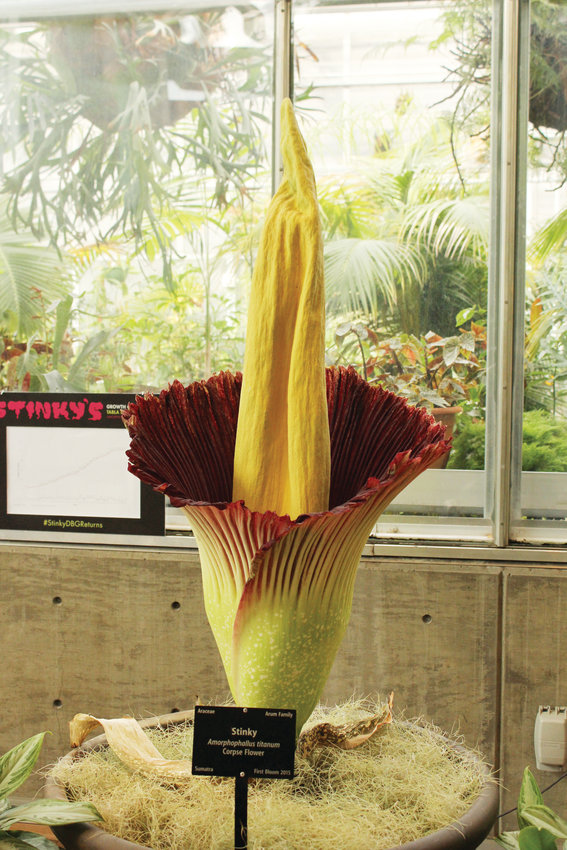 Corpse flowers are native to Sumatra, an island off of Indonesia. The flower is currently endangered.