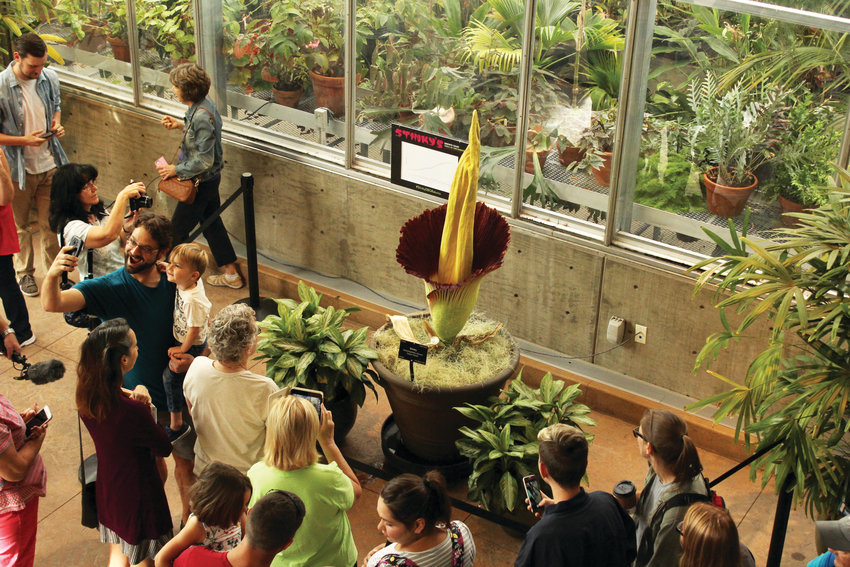 The corpse flower at the Denver Botanic Gardens began blooming on the afternoon of Aug. 30. The flower only blooms for 24 hours every 3 to 10 years.