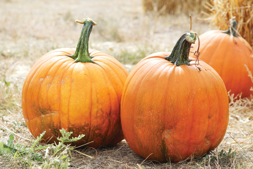While live music played and food trucks served up treats, visitors of the Schweiger Ranch Fall Festival in Lone Tree could browse $5 pumpkins.