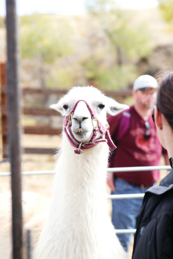 Animals including a miniature horse, donkey, rabbit and llama were available for children and families to pet Oct. 6.