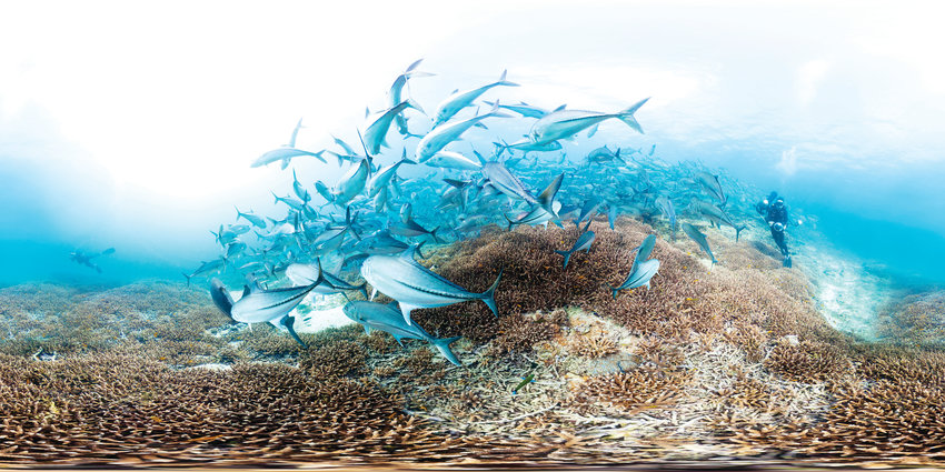 Trevally swim around dying choral at Lady Elliot Island, the southernmost coral cay of the Great Barrier Reef, Australia.