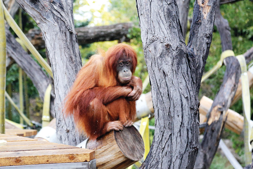 Hesty was born at the Denver Zoo in 2010. During a light snow day in early October, she braved the wet and cold to play on the new structure in the outdoor orangutan enclosure.
