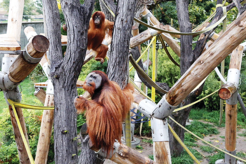 Berani and Hesty climb on the new structure in the outdoor orangutan enclosure at the Denver Zoo.