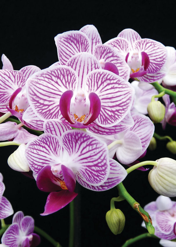 The Doritaenopsis Little Gem Stripes orchid. Most orchids prefer to have moist, but not soggy soil.