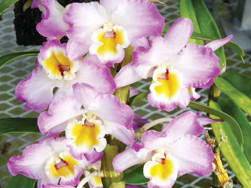 The Dendrobium Lovely Virgin orchid. The Dendrobium orchids have a wide variety of styles.