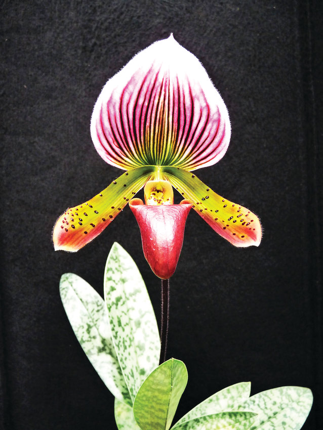 The Paphiopedilum Hsinying Alien orchid. This type of orchid prefers lower light levels and warm temperatures.