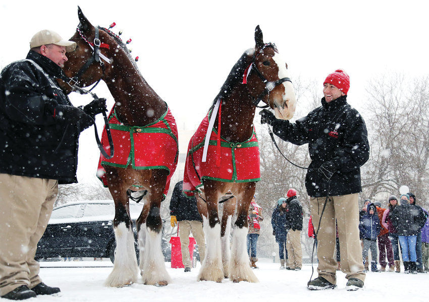 Scott Morrison and Rudy Helmuth, Clydesdale handlers for the Budweiser Clydesdale, brave the snowy New Years Eve Day with horses Cash and Sparky to mark the end of prohibition-era beer laws in Colorado.