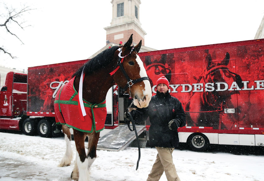 Rudy Helmuth leads Cash, a Budweiser Clydesdale, to the Colorado State Capitol to celebrate the beginning of full-strength beer sales at grocery stores in Colorado.