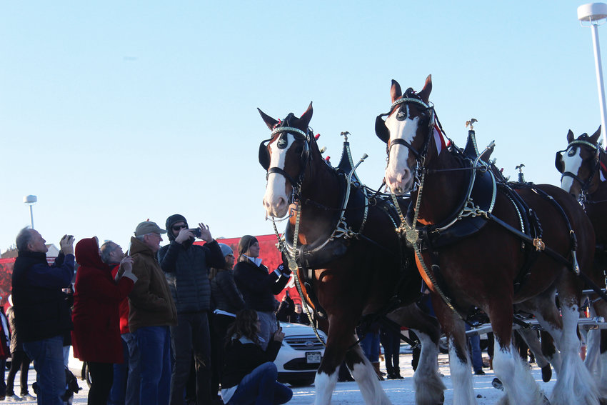 The Budweiser Clydesdales travel the country in ceremony for various events. On Jan. 1 the Clydesdales visited a Safeway in Lone Tree to celebrate the end of restrictive sale of 3.2 percent beer, which has been the norm in Colorado since Prohibition ended in 1933.