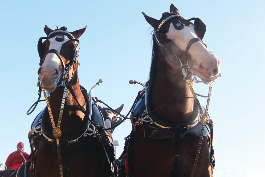The Budweiser Clydesdales have been the mascots for the American beer company since 1933, appearing first as a celebration gift to August and Adolphus Busch to celebrate the end of Prohibition.