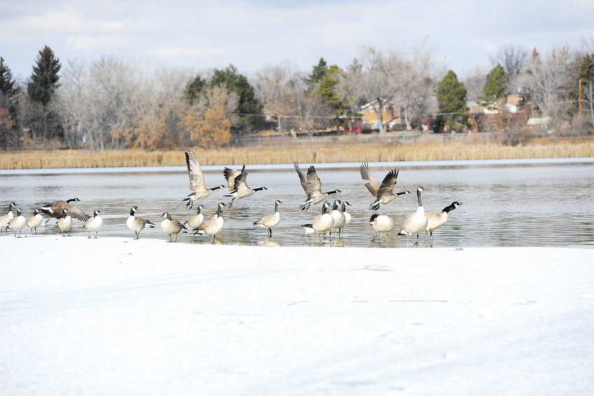 Part of a flock of Canada geese at Northglenn's Croke Reservoir, along North Huron Street, departs for different water Dec. 27. The pond is a popular spot for geese.