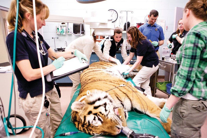 Veterinary staff at the Denver Zoo perform surgery on a tiger in this archive photo. The zoo is rebuilding its hospital to include a CT scanner as well as a diagnostic lab and quarantine space.