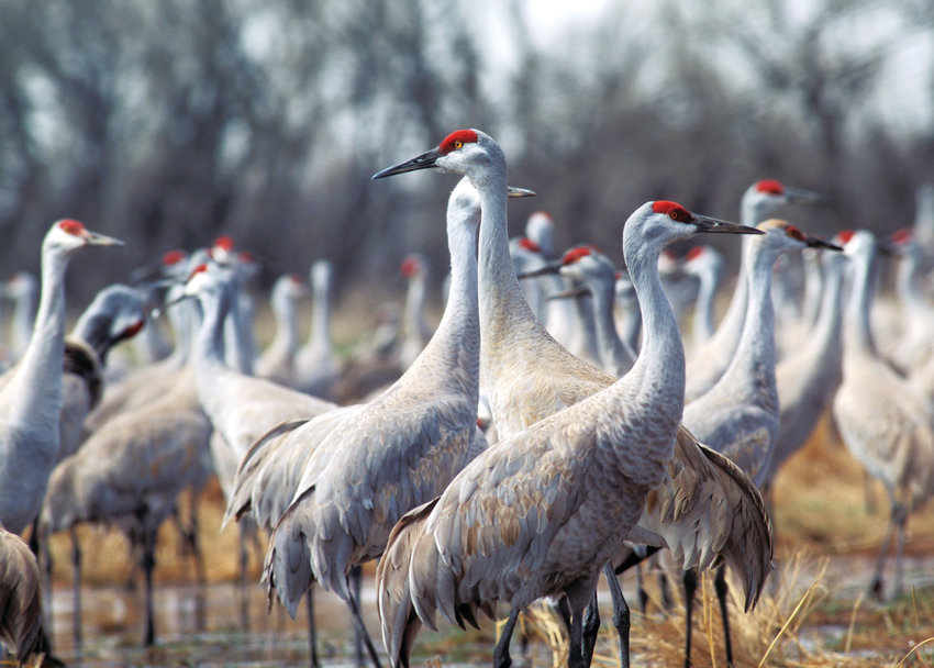 Sandhill cranes in the wet meadows along the Platte River on Nature Conservancy-owned land.