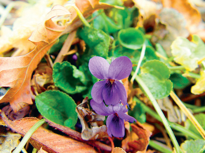 Violeta odorata, the sweet violet, is a common garden flower. The leaves and flowers of this plant are edible, and are sometimes made into candies.