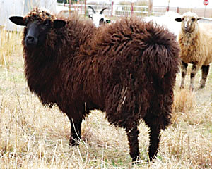 "Several of the Littleton Museum's churro breed heritage sheep will be sheared at the ""Sheep to Shawl"" event on May 18."