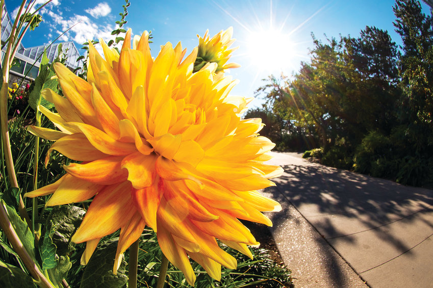 Bulbs for summer flowers, such as dahlias, can help extend the gardening season. Summer bulbs must be planted after the last frost.