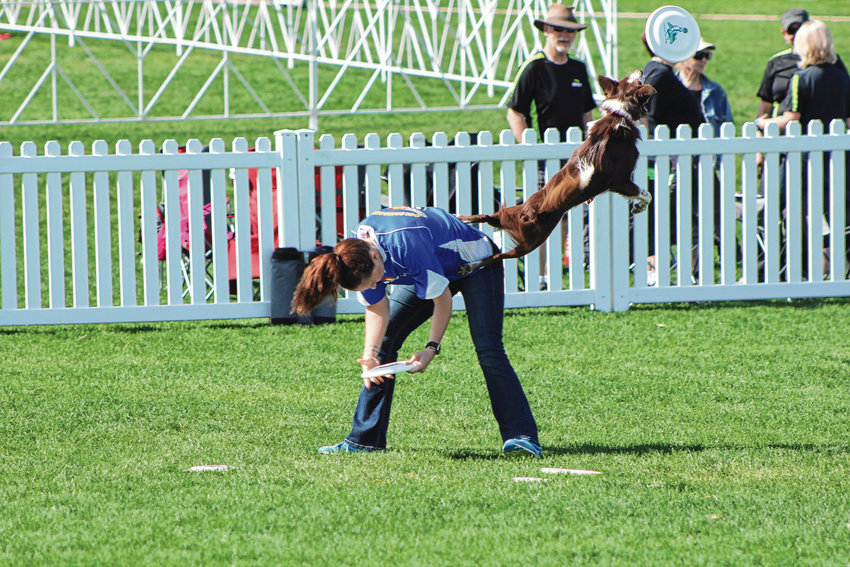 Tenzing leaps off his trainer's back to catch a disk during a performance by Colorado Disk Dogs at the Furry Scurry on May 4.