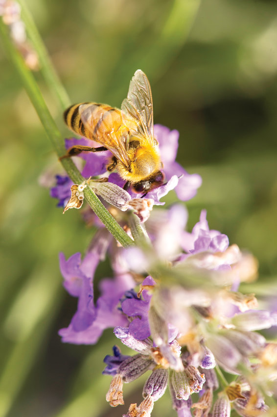 Bees also enjoy sweet lavender at Denver Botanic Gardens at Chatfield Farms, which hosts a Lavender Festival on July 20.