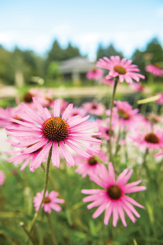 The coneflower is another plant that does well in Colorado's climate. Plants here need to withstand dry climate, mountains and temperature fluctuation.