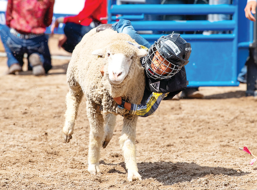 Jadon Miranda, 6, of Castle Rock, hangs on for his entry in the mutton busting event Aug. 2  at the Douglas County Fair and Rodeo.