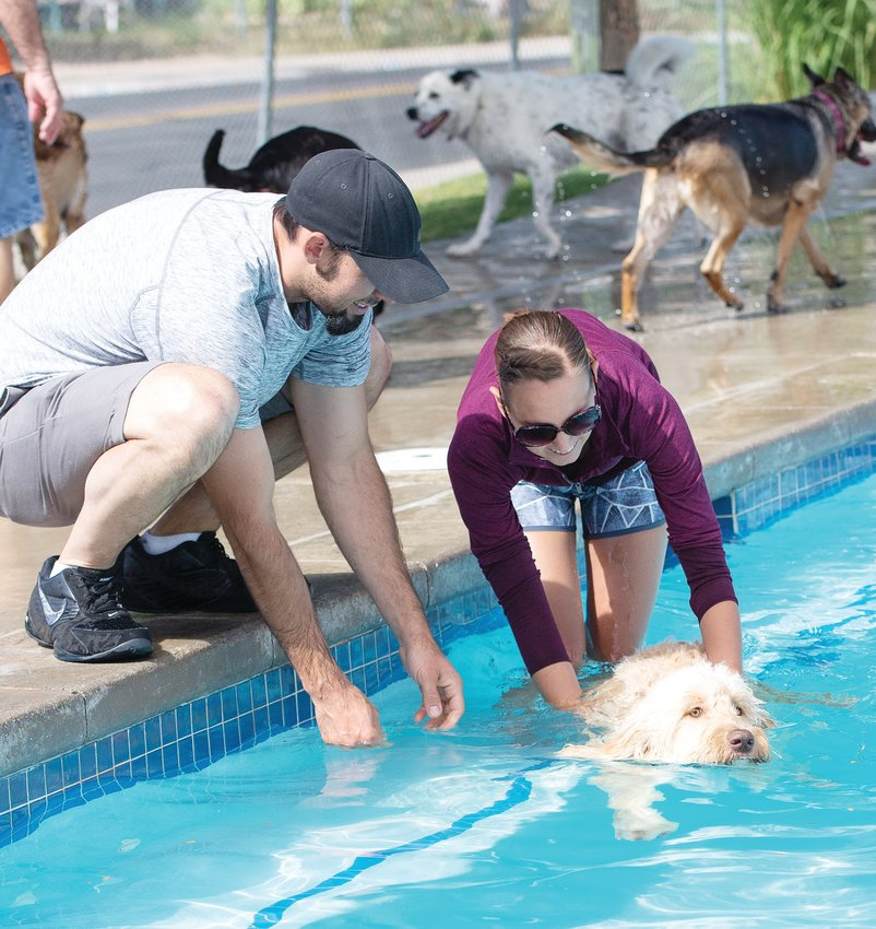 Dustin Chapple and Amanda Dean of Thornton, encourage one of their two Golden Doodles, during Aug. 17's Paws For a Dip dog swim, at Thornton's City Pool.