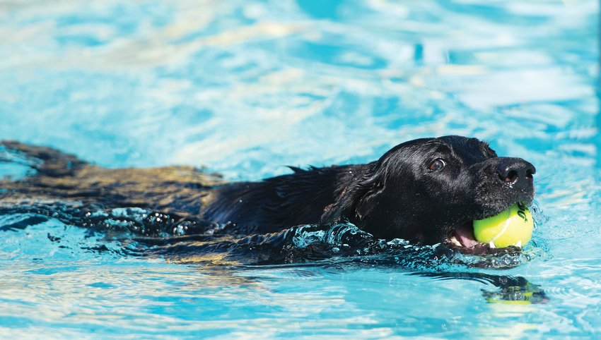 """Barkley"", a 7 year-old black Labrador Retriever, is among the first dogs to enter Thornton's City Pool, during Thornton's annual Paws For A Dip splash Aug. 17. He is owned by Steph McCarter of Thornton."