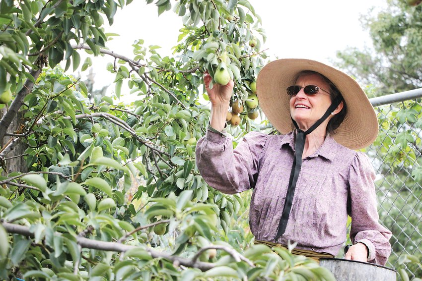 Kathie Owens-Tucker, who maintains the Littleton Museum's 1890s-era garden, picks pears that she'll preserve in syrup or turn into sauce.