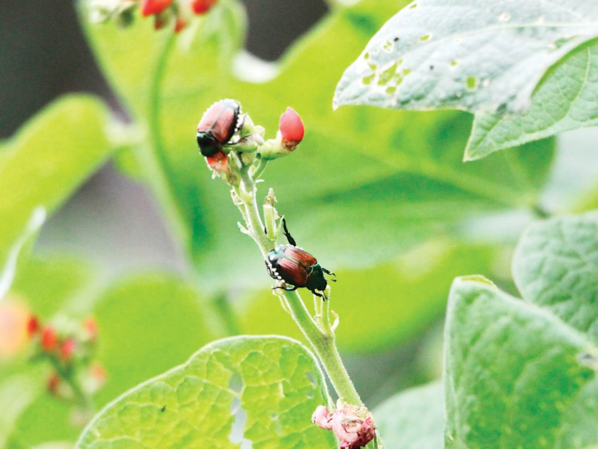 The garden may recreate those of the 1890s, but it still has to deal with a modern pest: Japanese beetles.