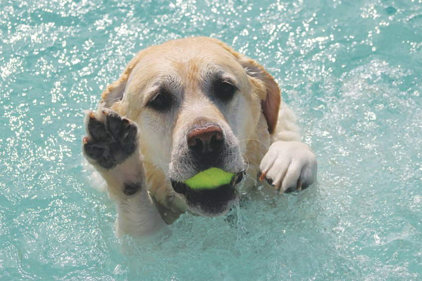 A yellow lab paddles to shore, ball in tow, and reaches out for a human friend to help him out of the water.