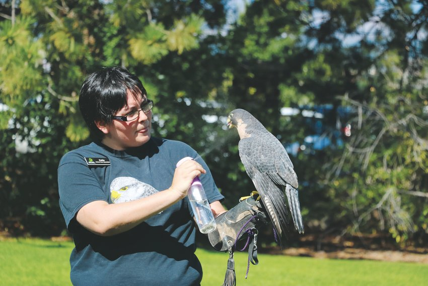 Kalia, an animal care specialist with Nature's Educators, sprays water into the mouth of a peregrine falcon during an animal demonstration at Highlands Ranch Pioneer Days. The educators are unable to release the raptor to the wild because it's missing part of its right wing.